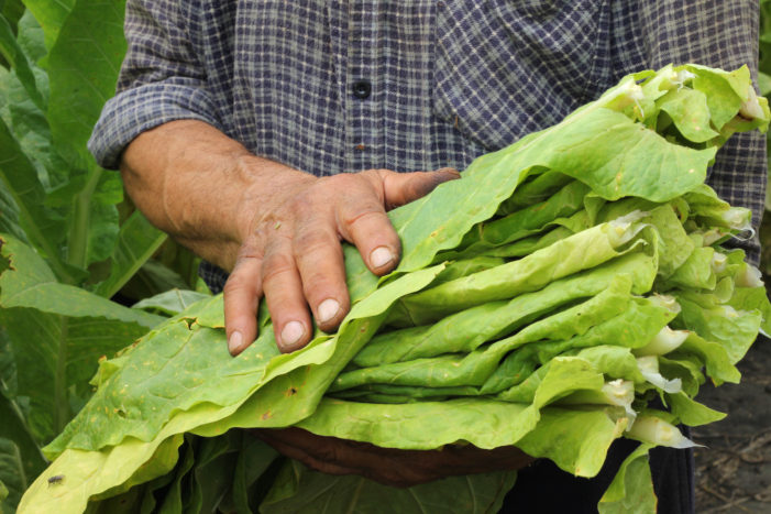 A Polio Vaccine Made from Tobacco Leaves?