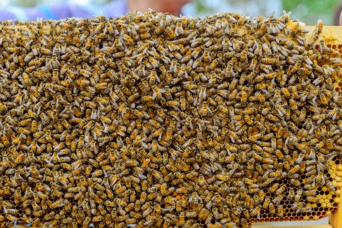 Naled Spraying in South Carolina to Combat Zika Kills Millions of Honeybees