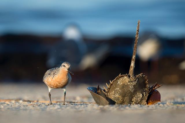 Vaccines Rely on Horseshoe Crab's Blue Blood for Purity