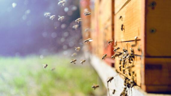 Honeybee Venom Destroys Cancer Cells