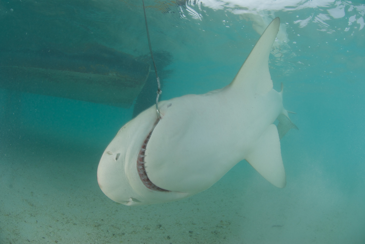 Half a Million Sharks Could Die to Produce Squalene Adjuvants for COVID-19 Vaccines